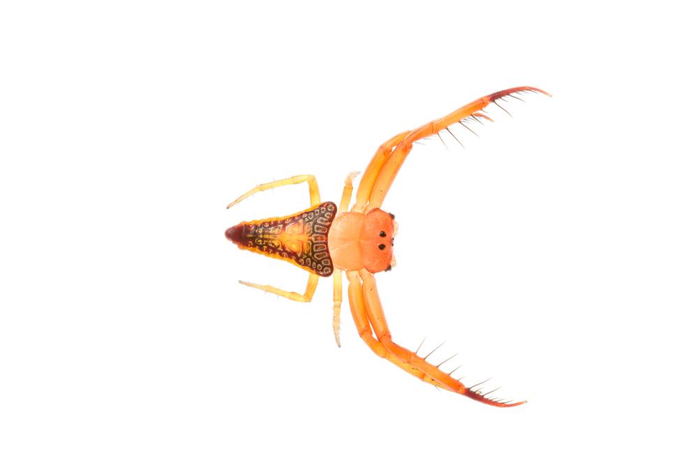 Triangular Spider (Arkys walckenaeri)