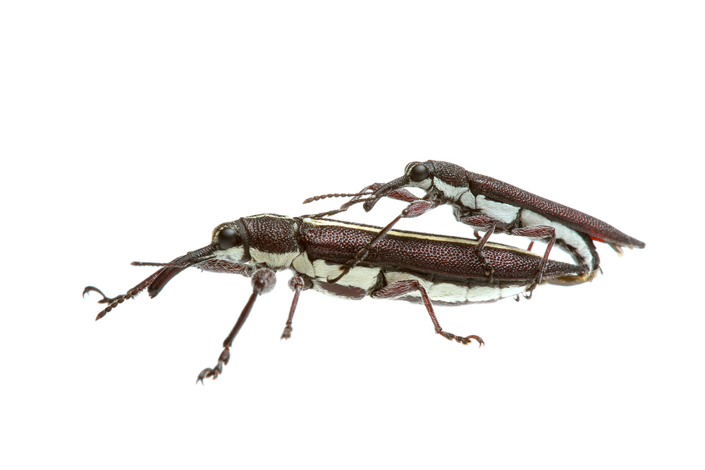 Tailed Weevils (Rhinotia suturalis)