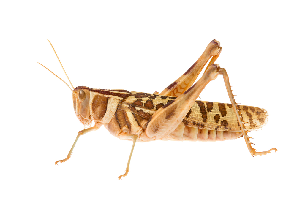 Variable Stropis Grasshopper (Stropis nigrovitellina)