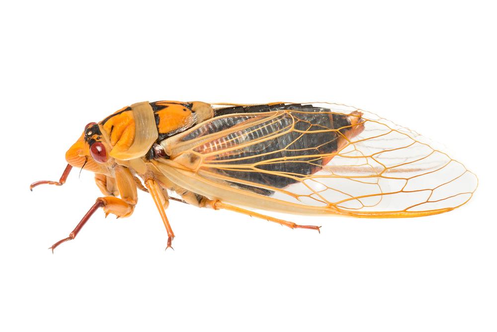 Masked Devil Cicada (Cyclochila australasiae)