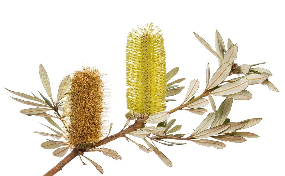 Albany Banksia (Banksia verticillata)