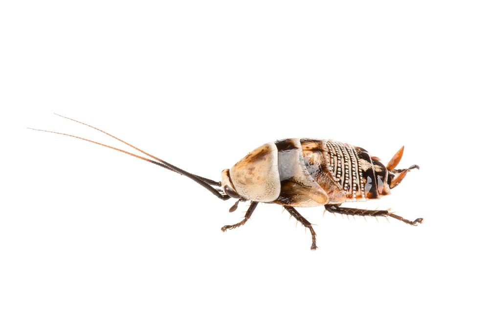 Bush Cockroach Nymph (Ellipsidion humerale)