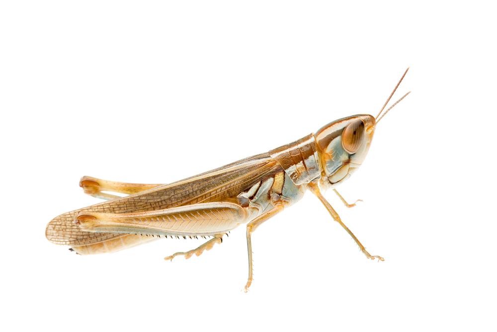 Plain Macrotona Grasshopper (Macrotona sp.)