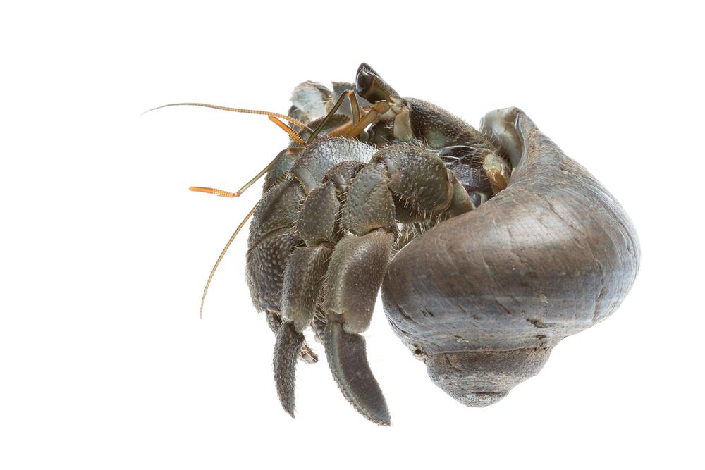 Hermit Crab in Bali