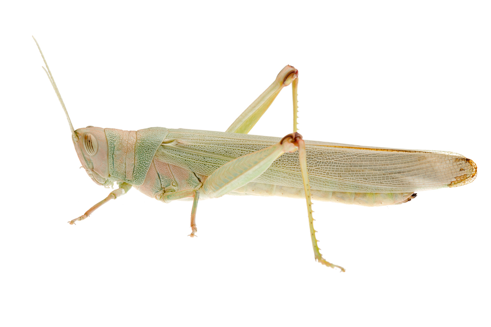 Grasshopper (Pardillana sp.)