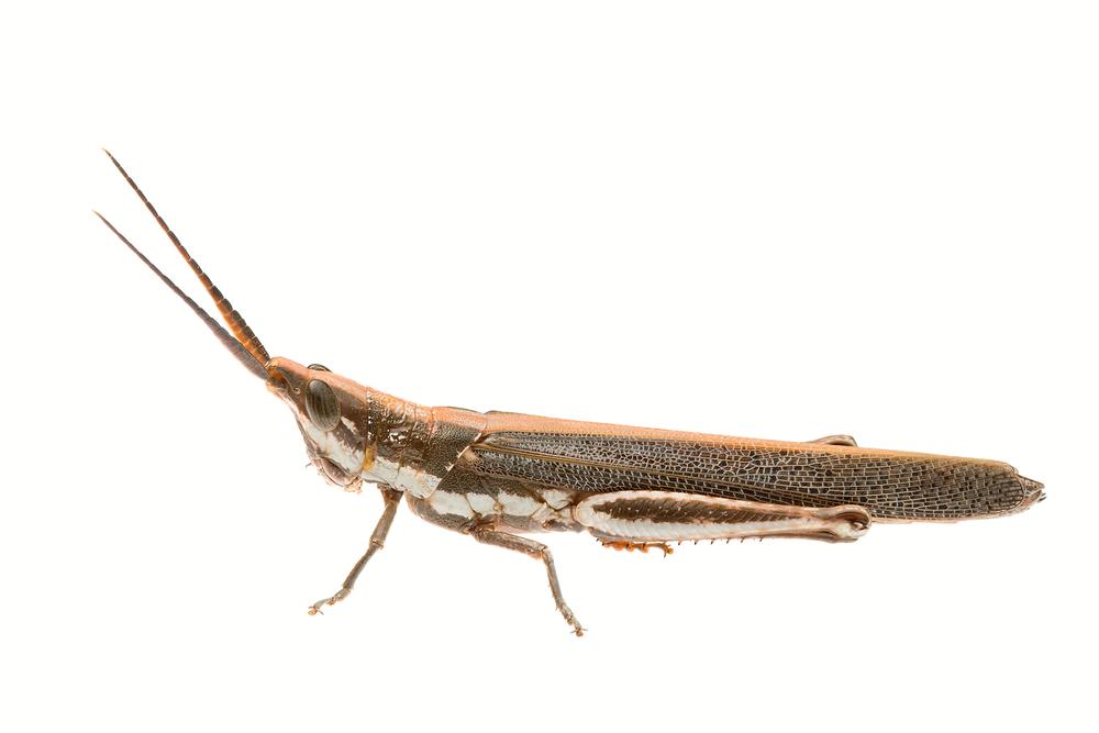 Pleasing Grasshopper (Erythropomala amaena)