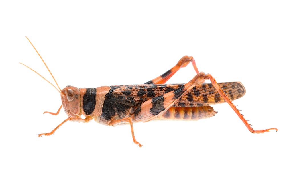 Leopard Grasshopper (Stropis sp.)