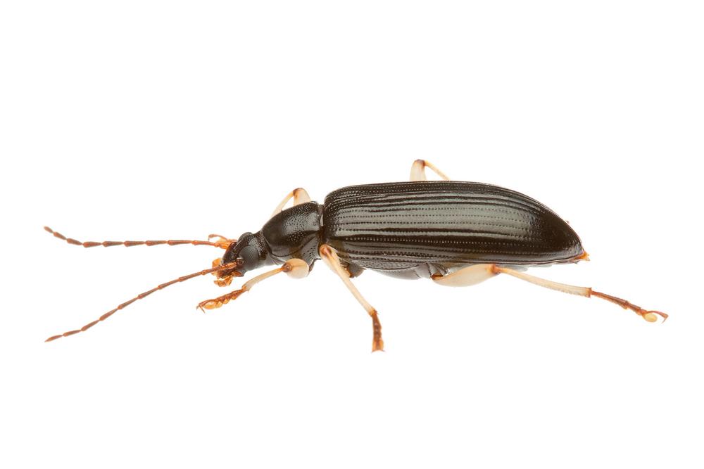 Darkling Beetle (Tenebrionidae Family)