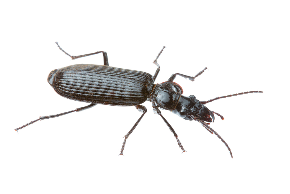 Black Ground Beetle (Gigadema sp.)