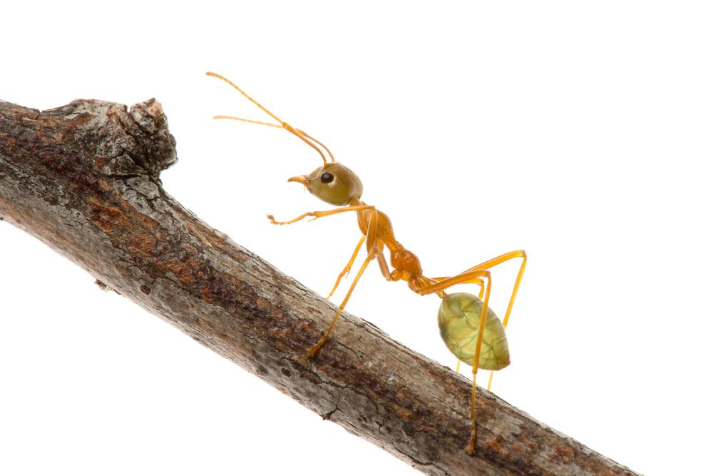 Green Tree Ant (Oecophylla smaragdina)