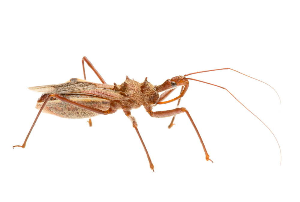 Unidentified Assassin Bug, Queensland