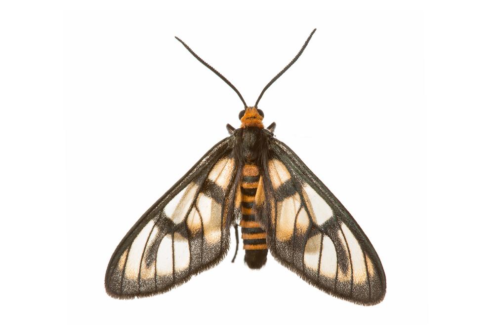 Tiger Moth (Amata sp.)