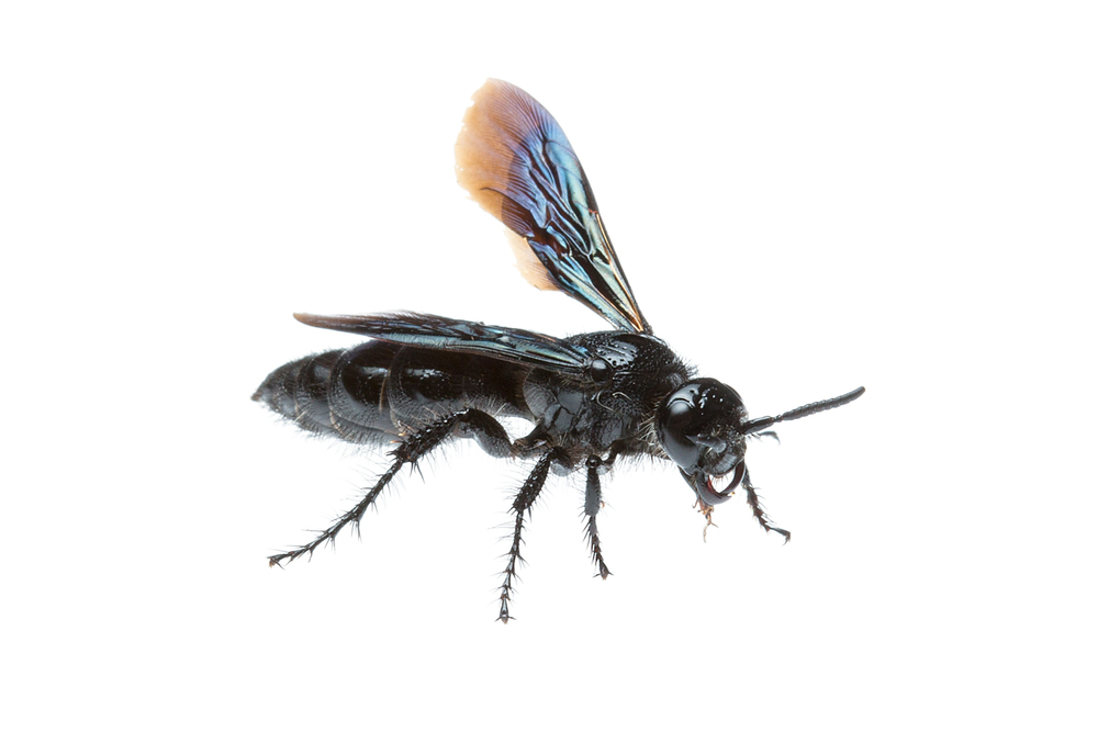 Black Flower Wasp (Scolia soror)