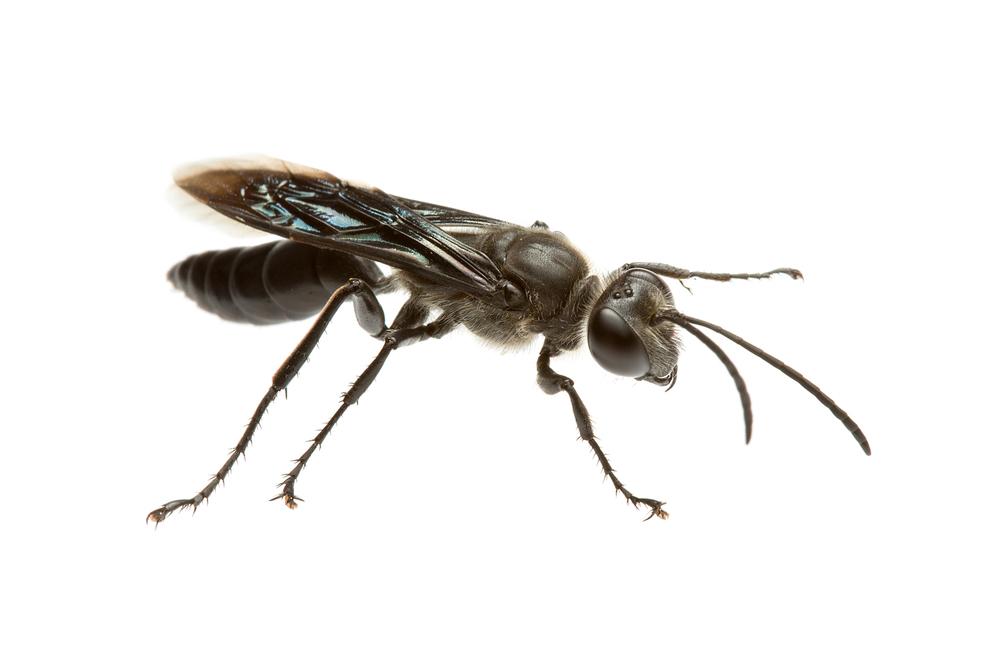 Black Digger Wasp (Sphex cognata)