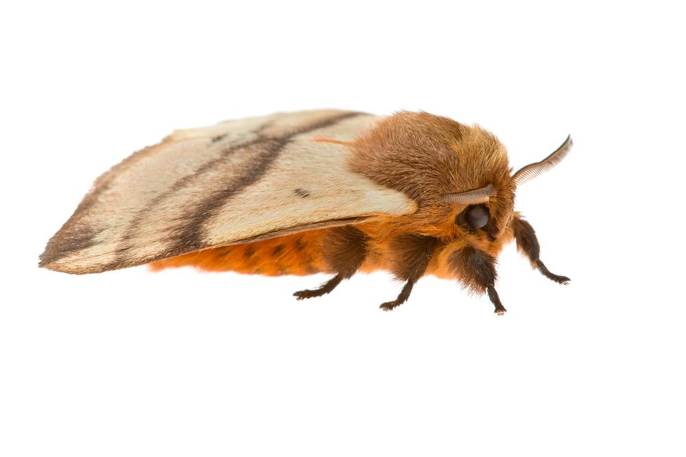 Woolly Moth (Cotana serranotata)