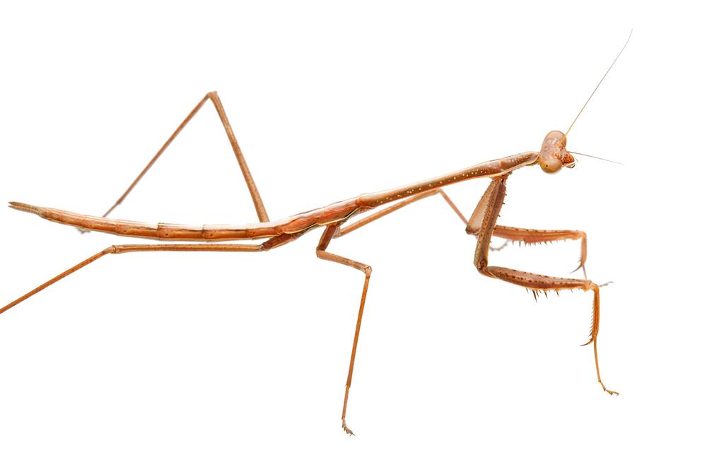 Preying Mantis (Archimantis latistyla)