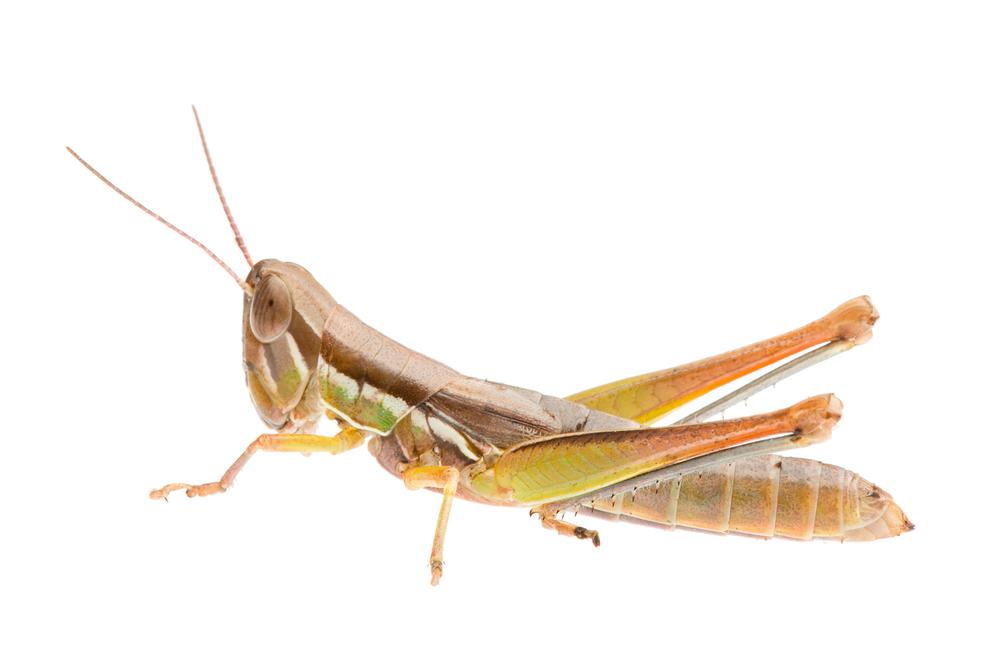 Fireman Grasshopper (Tolgadia infirma)