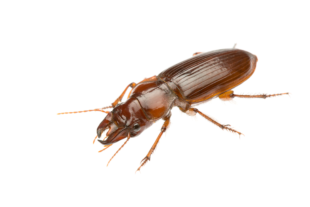 Brown Carabid (Phorticosomus sp.)