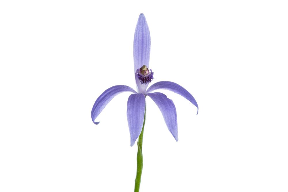 Blue Fairy Orchid (Cyanicula deformis)