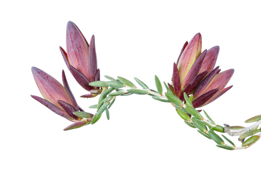 Darwinia speciosa
