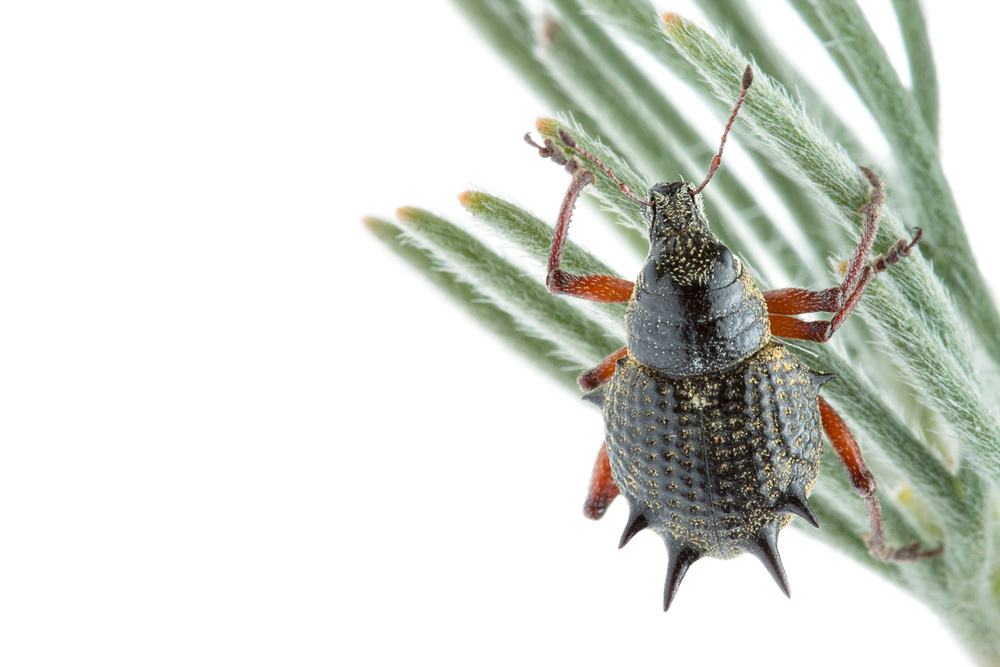 Spiny Weevil (Catasarcus spinipennis)