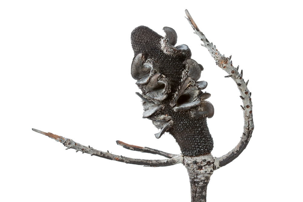 Mature Banksia Cone, After Seed Release