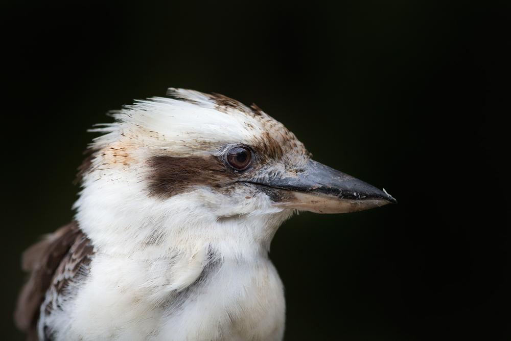 Laughing Kookaburra (Dacelo novaeguineae)