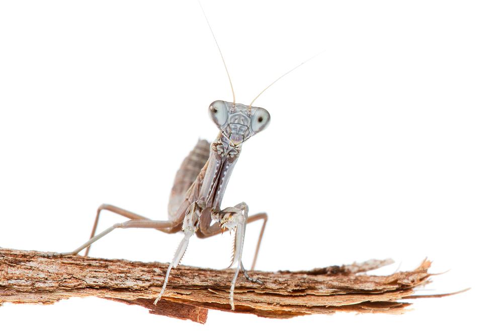 Burying Mantis (Sphodropoda tristis)