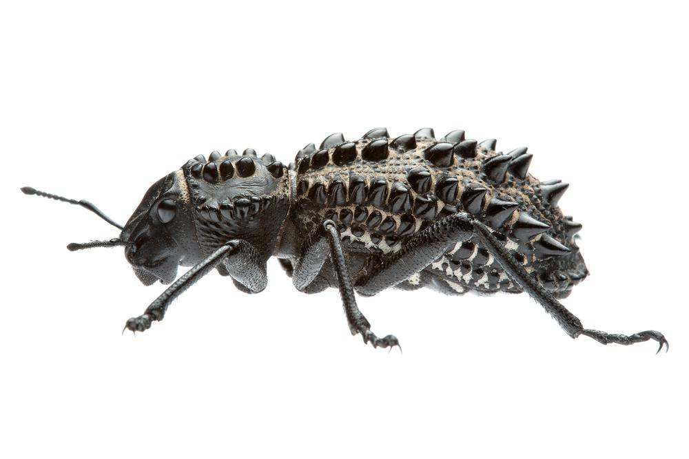 Broad Nosed Weevil (Gagatophorus draco)