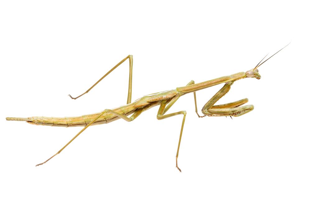 Subadult Mallee Mantis (Archimantis sobrina)