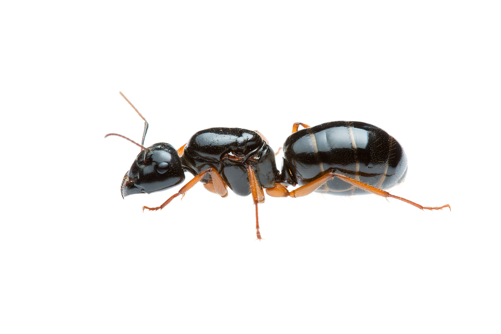 Western Sugar Ant Queen (Camponotus prostans)