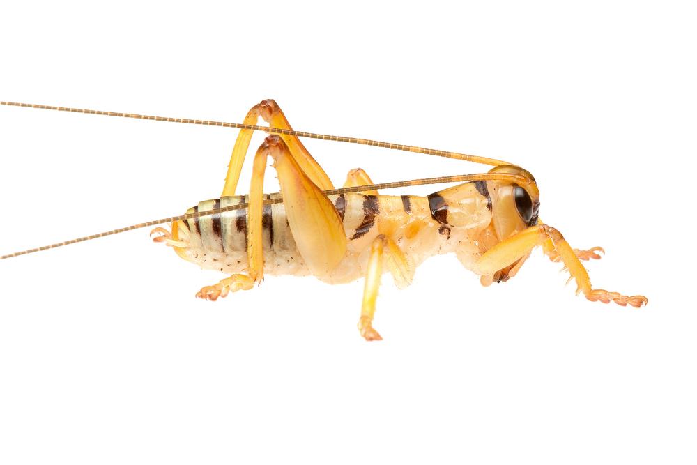 Orange Rapsy Cricket (Hadrogryllacris sp.)