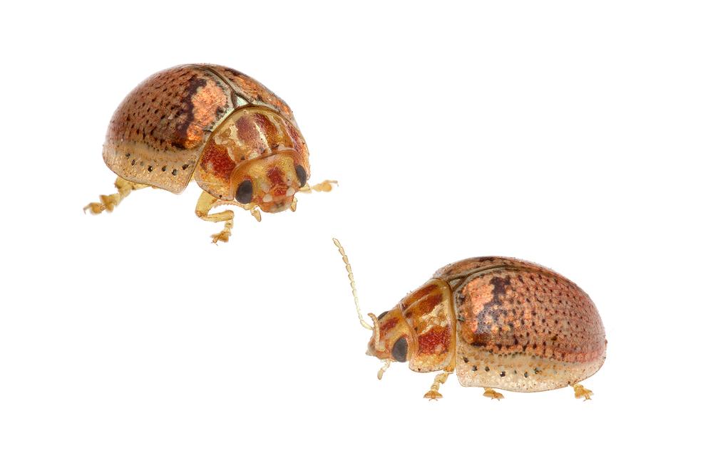 Leaf Beetle (Paropsisterna sp.)