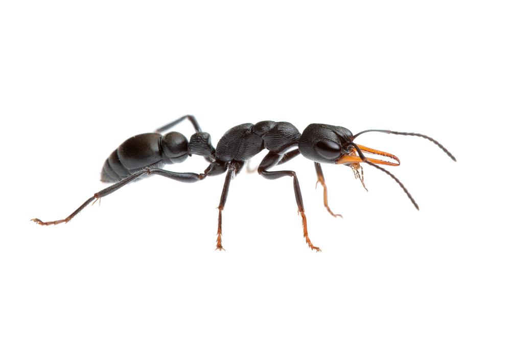 Jack Jumper Ant, (Myrmecia imaii)