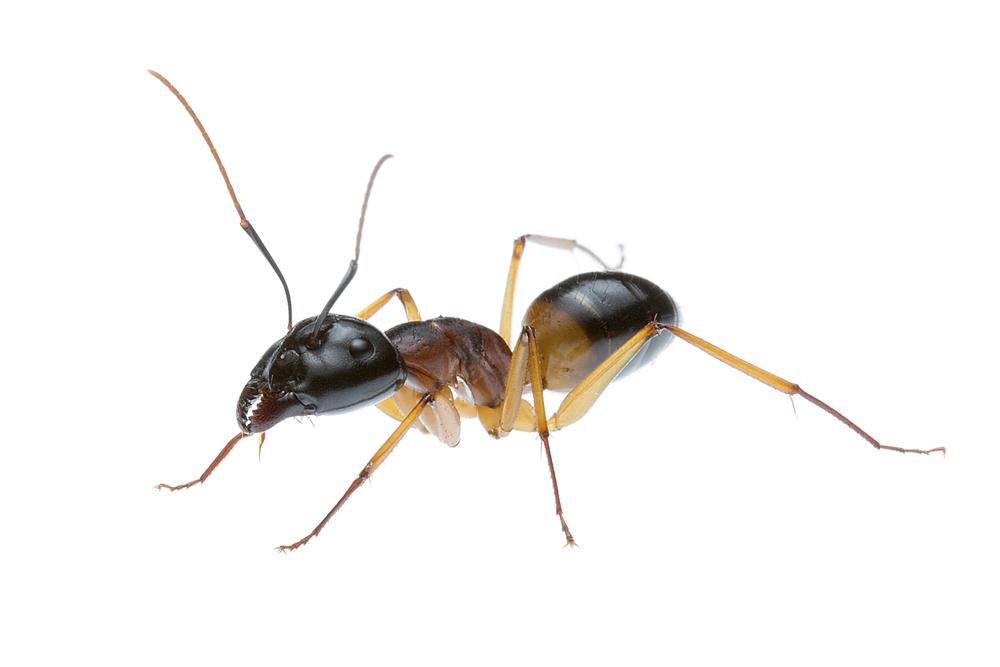 Banded Sugar Ant (Camponotus consobrinus)