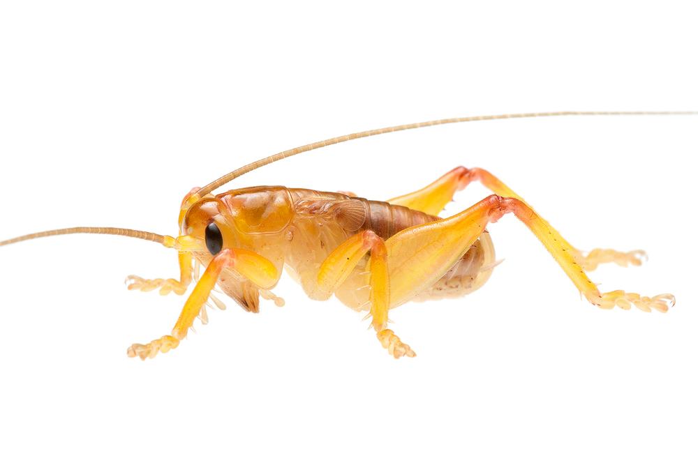 Orange Raspy Cricket (Hadrogryllacris sp.)