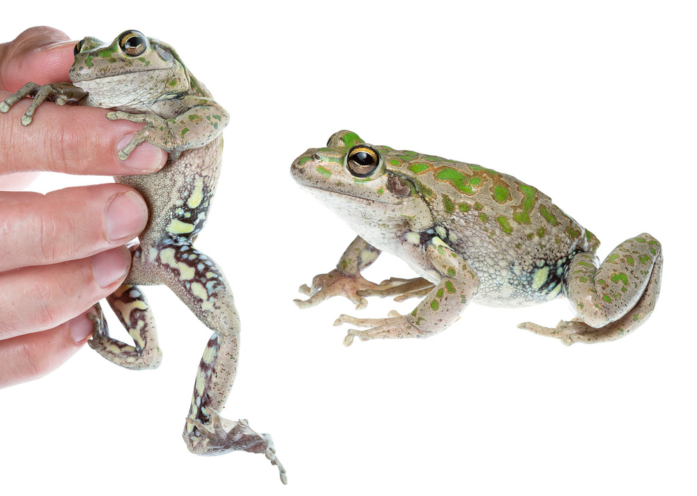 Spotted-thighed Frog (Litoria cyclorhyncha)
