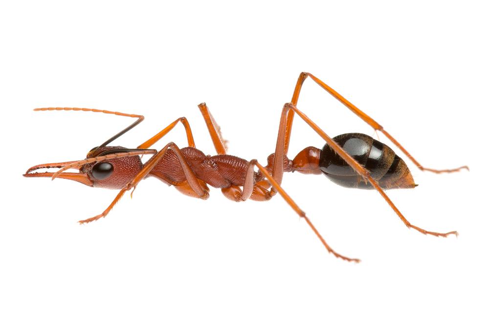 Australian Bull Ant (Myrmecia analis)