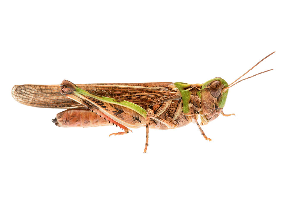 Australian Plague Locust (Chortoicetes terminifera)