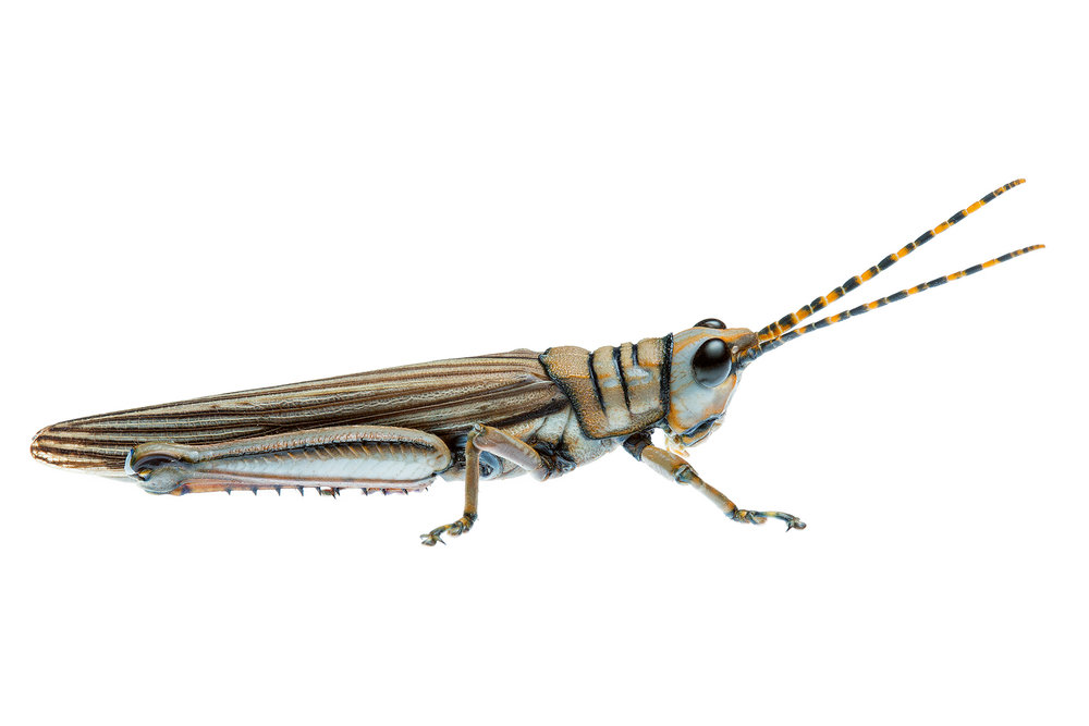 Western Acacia Grasshopper (Genus Novum 82 sp. 1)
