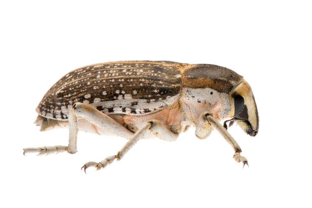True Weevil (Conorhynchus conirostris)