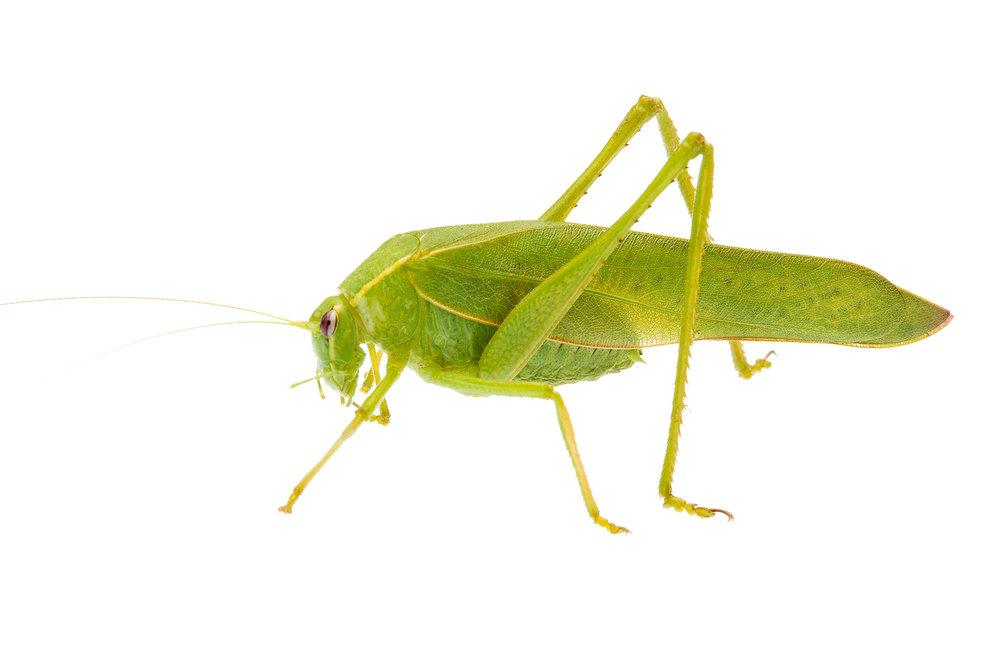Bush Katydid (Caedicia sp.)