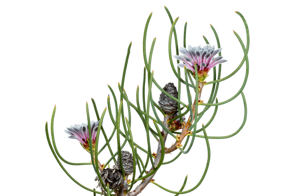 Conebush (Petrophile teretifolia)
