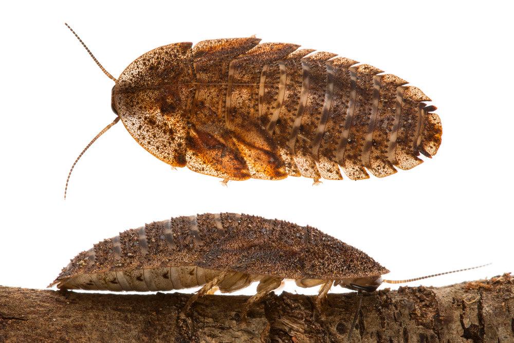 Edgar's Trilobite Cockroach (Laxta rieki)