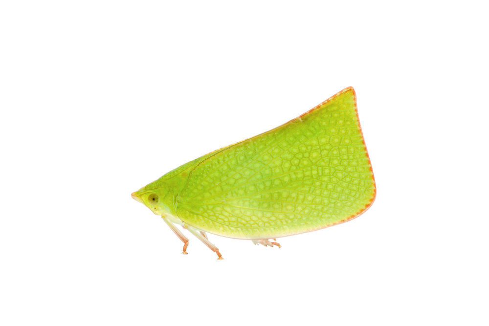 Planthopper (Siphanta sp.)