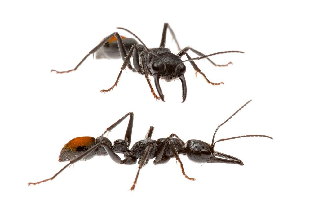 Bull Ant (Myrmecia mandibularis)