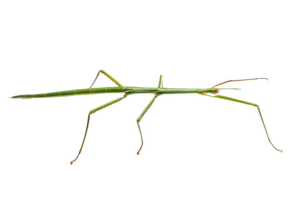 WA Stick Insect (Arphax australis)