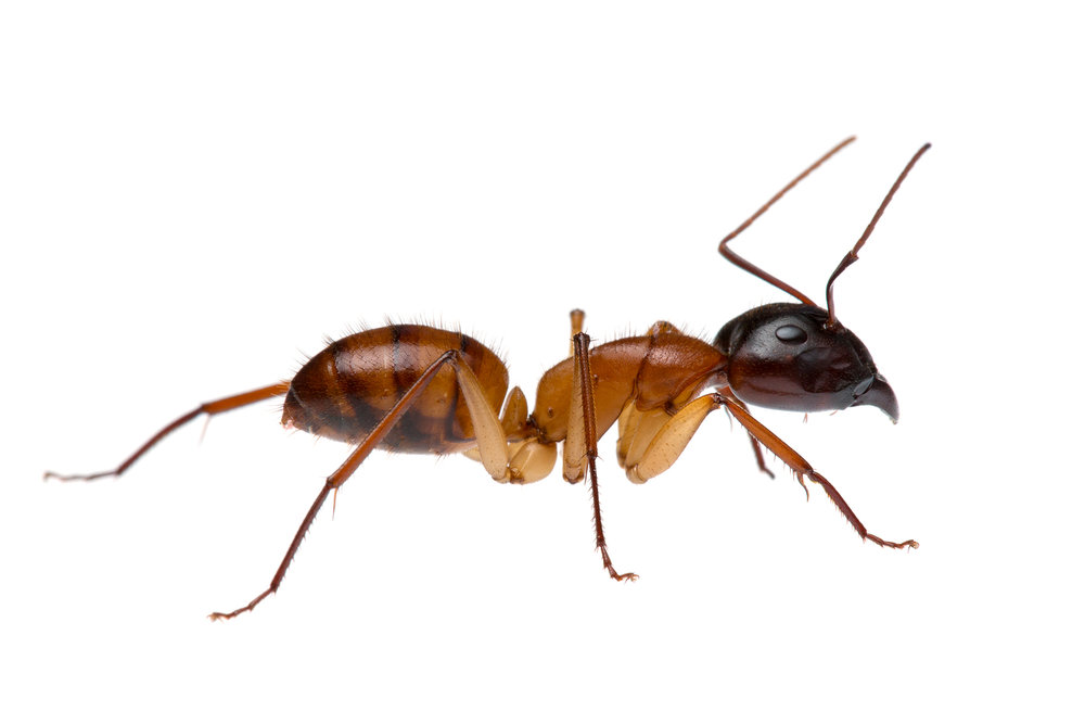 Brown Bearded Sugar Ant (Camponotus terebrans)
