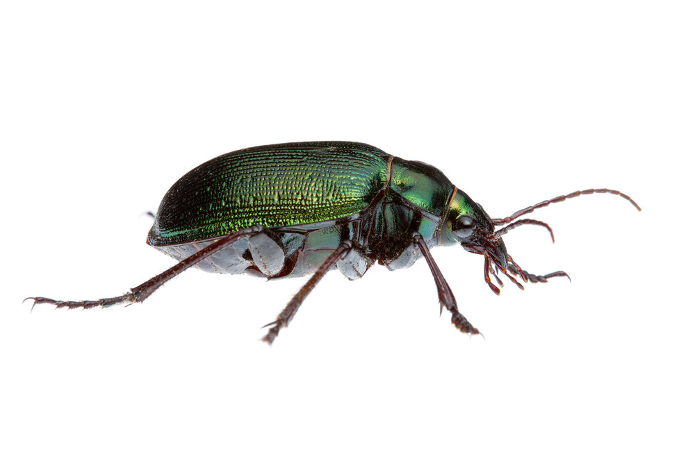 Green Ground Beetle (Calosoma sp.)