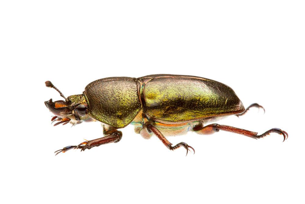 Golden Stag Beetle (Lamprima micardi)